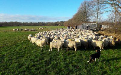 Het scheiden van de schapen