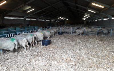 Eerste schapen naar binnen.