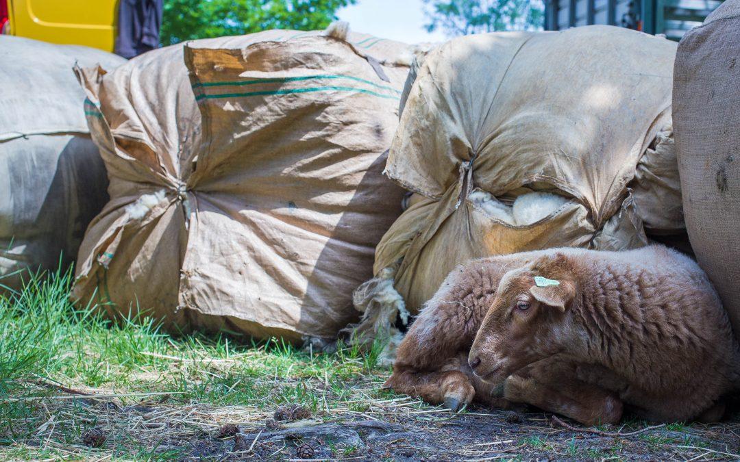 Dinsdag 30 mei as. schapen scheren